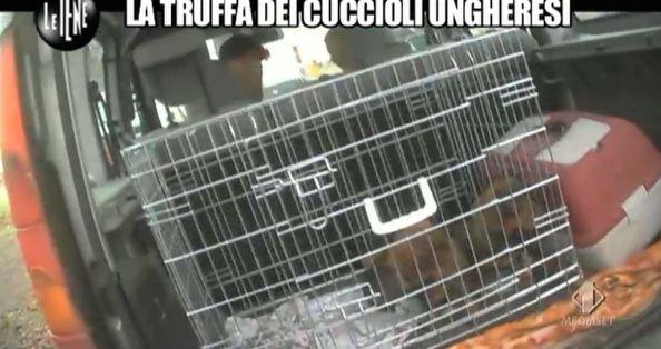 Cuccioli ungheresi servizio